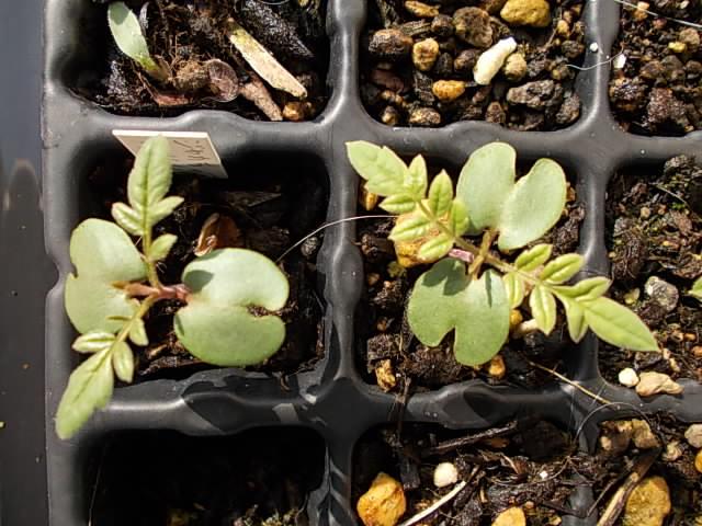 Jacaranda cuspidifolia 20140630
