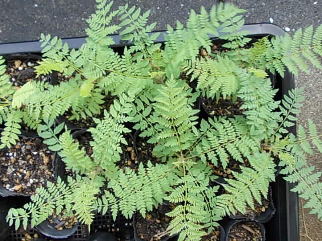 Jacaranda cuspidifolia 20140803