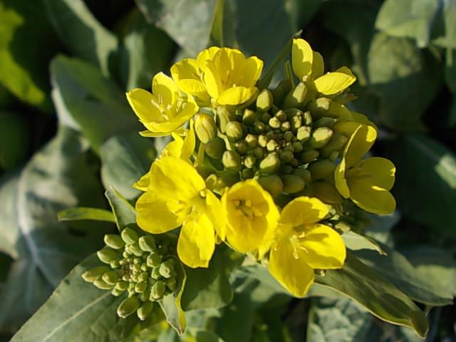 Komatsuna spinach 20140223