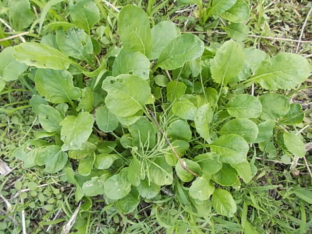 Komatsuna spinach 20140506