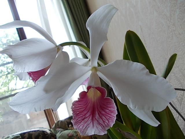 L. purpurata fma. carnea 20140624