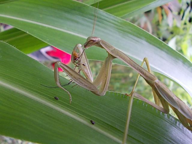 Mantis 20140801