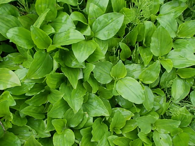 Maruba-tsuyukusa weed 20140621