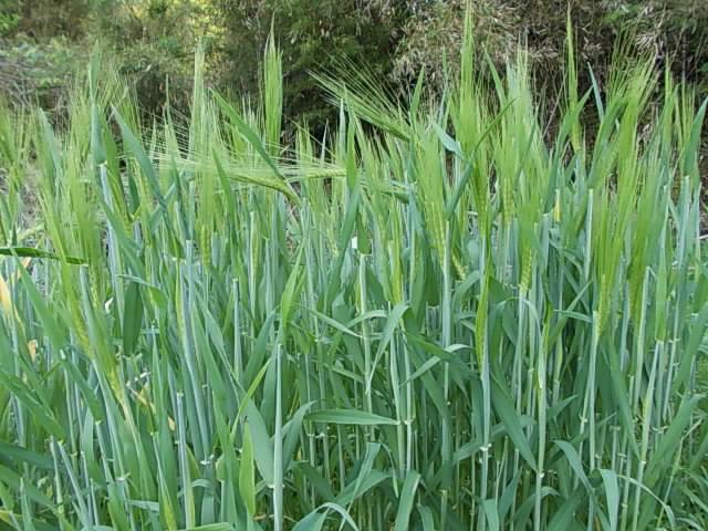Mulch barley 20140515