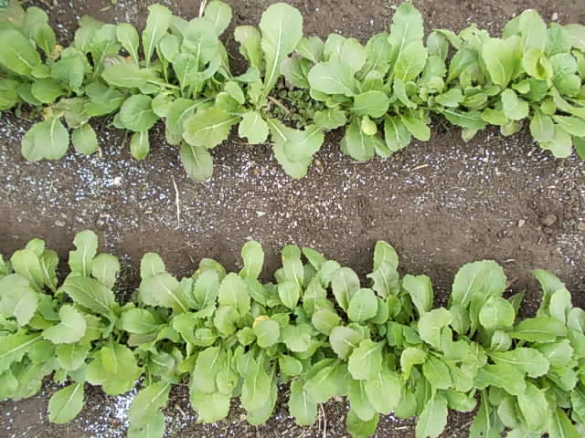 Nozawana spinach 20140314