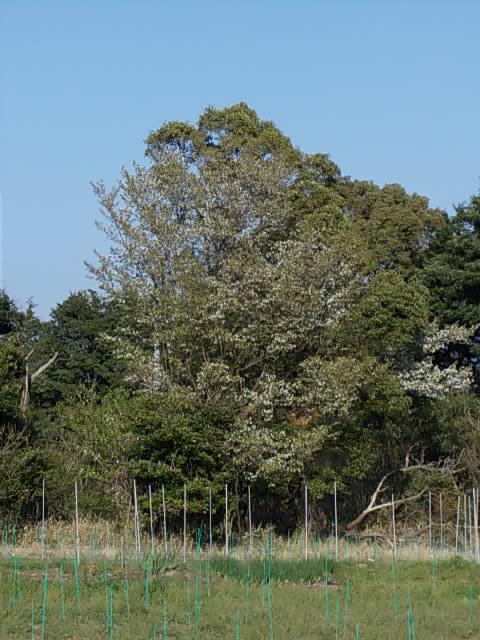 Prunus 20140401