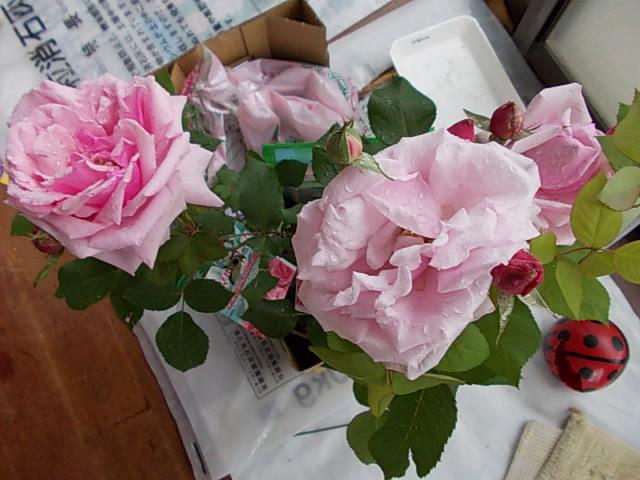 Rose 'La France' 20140428