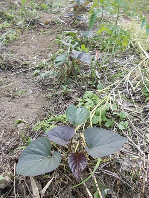 Sweet potato Annou 20140523
