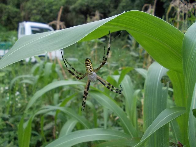 Tokibi with spider 20140822
