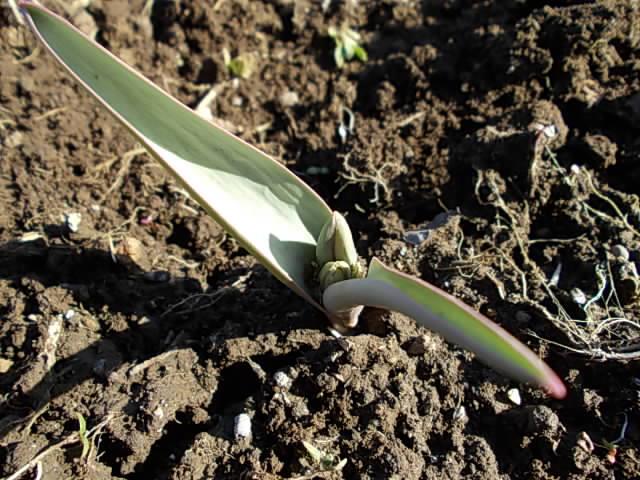 Tulipa polychroma 20140215