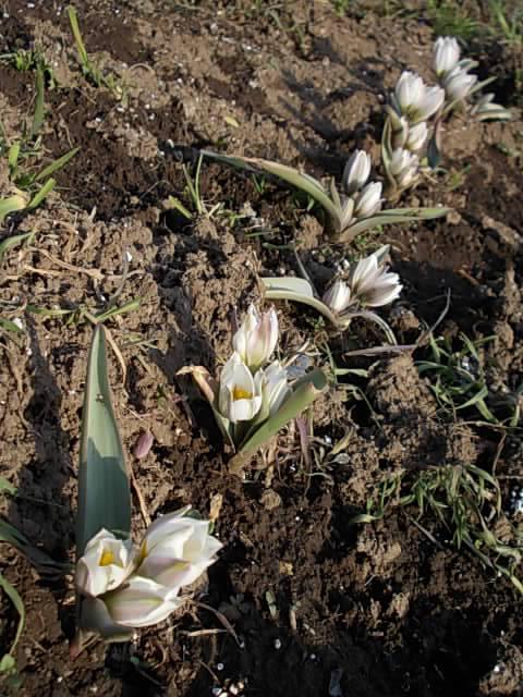 Tulipa polychroma 20140305