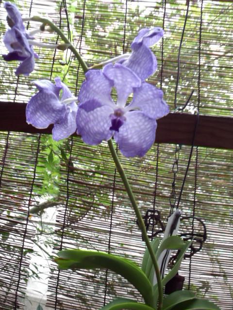 Vanda coerulea 'Heavenly Blue' 20140812