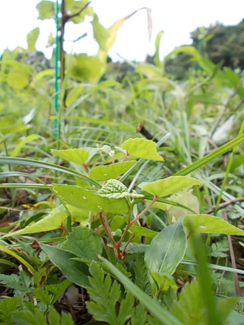 Vitis ficifolia var. lobata 20140811