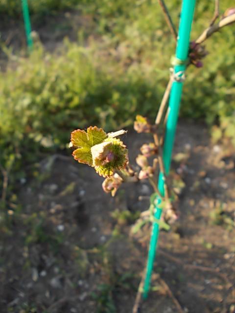 Vitis ficifolia var. sinuata 20140402