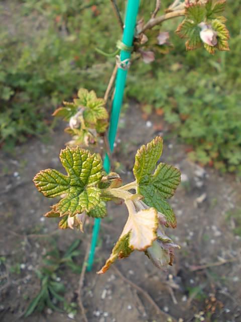 Vitis ficifolia var. sinuata 20140411