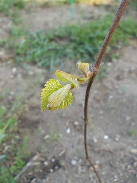Vitis flexuosa 20140402