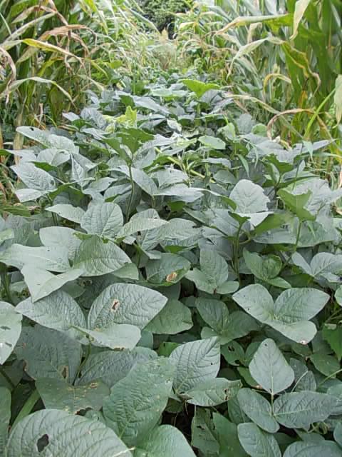 Walnut soybean 20140830