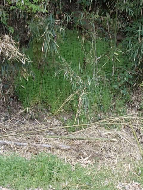 Yaemugura weed 20140312