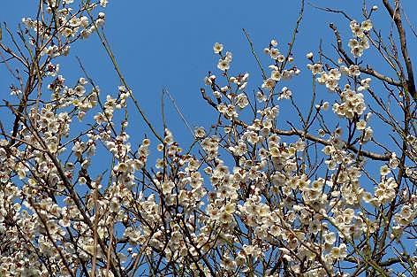 梅がいっぱい咲いた♪