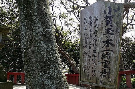 小賀玉の木♪