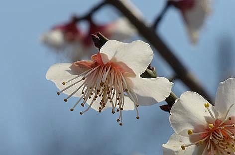 白い梅の花♪