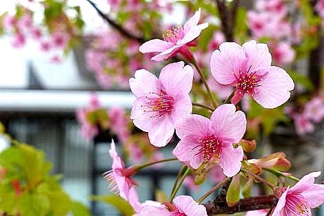 早咲きの桜は終わり頃♪