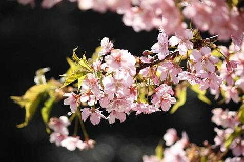 桜を撮っていると♪