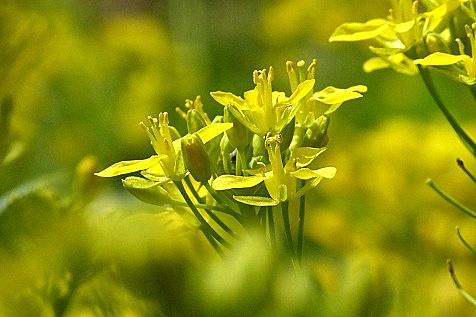 水菜の花♪