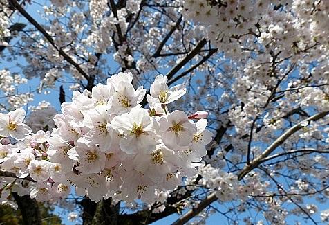 桜の花を♪