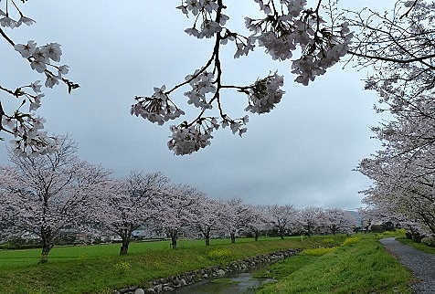 草場川の桜並木♪