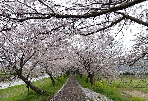 流川の桜並木♪