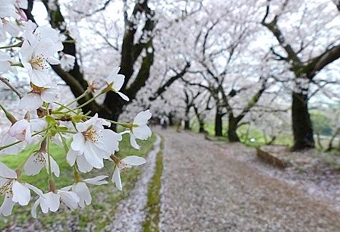 桜吹雪でした♪