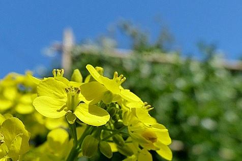 白菜の花♪