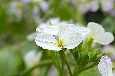 大根の白い花♪