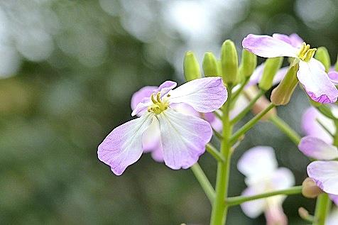 大根のピンク色の花♪