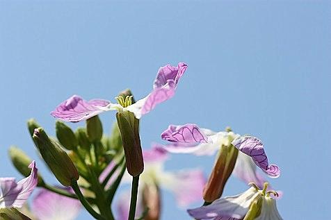 コボレ種大根の花♪