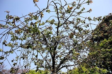 御衣黄桜♪