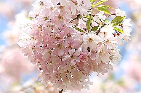 散りゆく桜♪