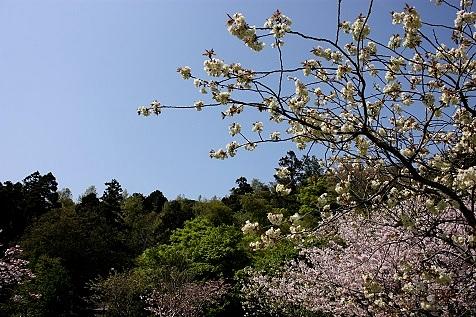 桜の公園♪