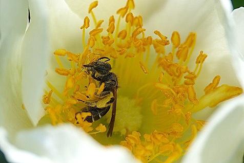 花粉を集めてる?