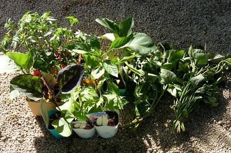 夏野菜苗や芋蔓♪