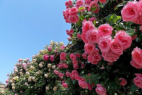 見事なバラがいっぱい♪
