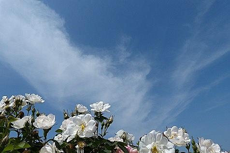 真っ白なバラと青い空♪