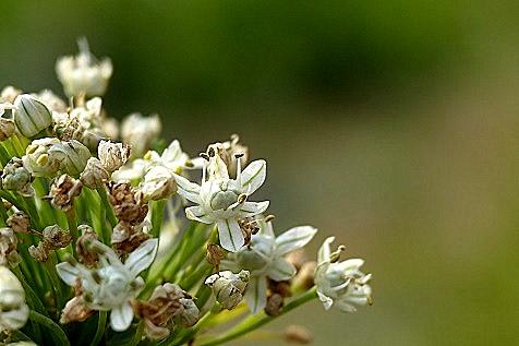 咲いていた玉ネギの花♪