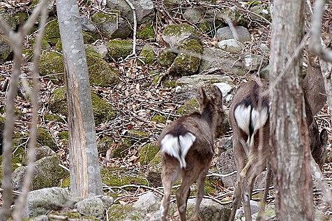 野生の鹿♪