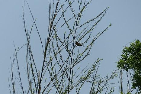 淡竹に揺れる小鳥♪