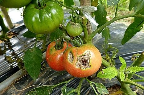 色づいたトマト♪