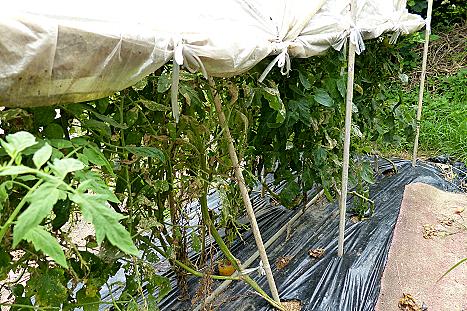 屋根付きトマト♪