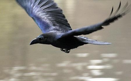 黒鳥の代名詞