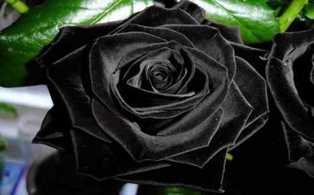 改めて黒薔薇